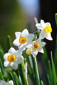 初春 水仙