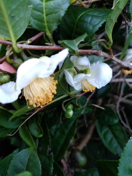 お茶の木の花