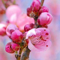 ひな祭り 桃の節句 桃の花
